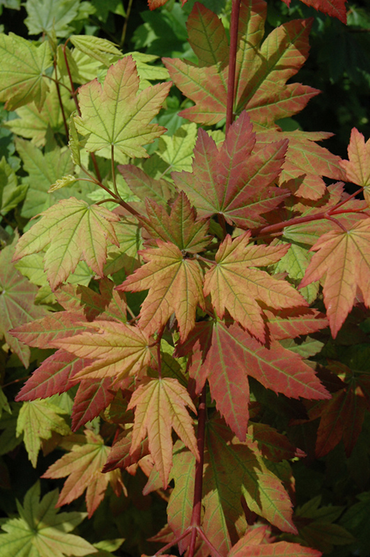 Vine Maple (Acer Circinatum) At Snavelyu0027s Garden Corner