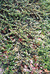 Spreading Cotoneaster (Cotoneaster divaricatus) at Snavely's Garden Corner