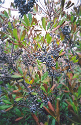 Northern Bayberry (Myrica pensylvanica) at Snavely's Garden Corner