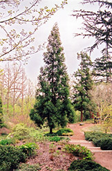 Japanese Cedar (Cryptomeria japonica) at Snavely's Garden Corner