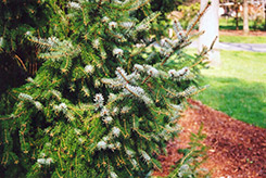 Serbian Spruce (Picea omorika) at Snavely's Garden Corner