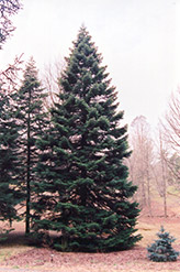 Nordmann Fir (Abies nordmanniana) at Snavely's Garden Corner
