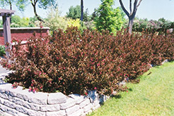 Wine and Roses® Weigela (Weigela florida 'Alexandra') at Snavely's Garden Corner