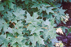 Purpleblow Maple (Acer truncatum) at Snavely's Garden Corner