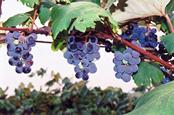 Concord Grape (Vitis 'Concord') at Snavely's Garden Corner