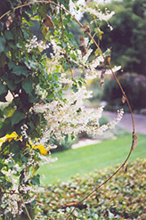 Silver Lace Vine (Polygonum aubertii) at Snavely's Garden Corner