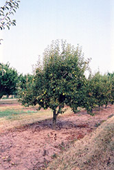 Bartlett Pear (Pyrus communis 'Bartlett') at Snavely's Garden Corner