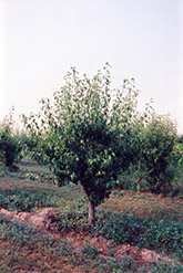 Anjou Pear (Pyrus communis 'Anjou') at Snavely's Garden Corner
