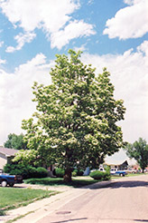Northern Catalpa (Catalpa speciosa) at Snavely's Garden Corner