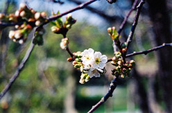 Montmorency Cherry (Prunus 'Montmorency') at Snavely's Garden Corner