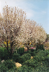 Snowgoose Flowering Cherry (Prunus serrulata 'Snowgoose') at Snavely's Garden Corner