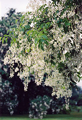 Yellowwood (Cladrastis lutea) at Snavely's Garden Corner