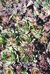 Kalinda Hens And Chicks (Sempervivum 'Kalinda') at Snavely's Garden Corner