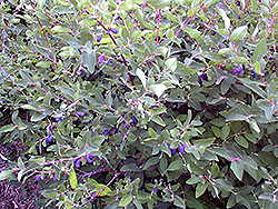 Berry Blue Honeyberry (Lonicera caerulea 'Berry Blue') at Snavely's Garden Corner