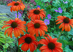Tangerine Dream Coneflower (Echinacea 'Tangerine Dream') at Snavely's Garden Corner