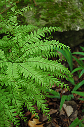 Northern Maidenhair Fern (Adiantum pedatum) at Snavely's Garden Corner