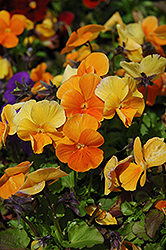 Penny Orange Pansy (Viola cornuta 'Penny Orange') at Snavely's Garden Corner