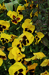 Majestic Giant Yellow Pansy (Viola x wittrockiana 'Majestic Giant Yellow') at Snavely's Garden Corner