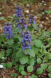 Caitlin's Giant Bugleweed (Ajuga reptans 'Caitlin's Giant') at Snavely's Garden Corner