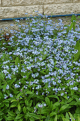 Forget-Me-Not (Myosotis sylvatica) at Snavely's Garden Corner