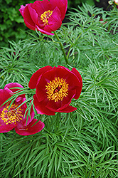 Fernleaf Peony (Paeonia tenuifolia) at Snavely's Garden Corner