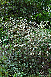Ravenswing Cow Parsley (Anthriscus sylvestris 'Ravenswing') at Snavely's Garden Corner