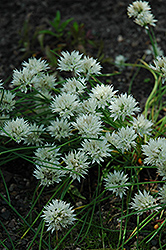 White Ornamental Onion (Allium maximowiczii 'Alba') at Snavely's Garden Corner