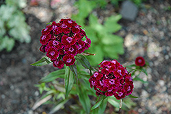 Sweet William (Dianthus barbatus) at Snavely's Garden Corner