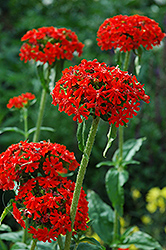 Maltese Cross (Lychnis chalcedonica) at Snavely's Garden Corner