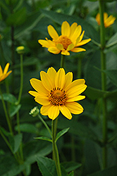False Sunflower (Heliopsis helianthoides) at Snavely's Garden Corner
