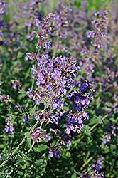 Walker's Low Catmint (Nepeta x faassenii 'Walker's Low') at Snavely's Garden Corner
