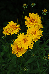Early Sunrise Tickseed (Coreopsis 'Early Sunrise') at Snavely's Garden Corner