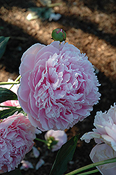 Shirley Temple Peony (Paeonia 'Shirley Temple') at Snavely's Garden Corner