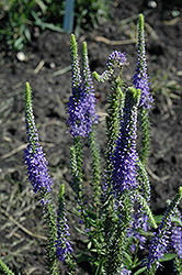 Blue Candles Speedwell (Veronica spicata 'Blue Candles') at Snavely's Garden Corner