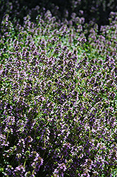 Lemon Thyme (Thymus x citriodorus) at Snavely's Garden Corner