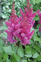 Visions Astilbe (Astilbe chinensis 'Visions') at Snavely's Garden Corner
