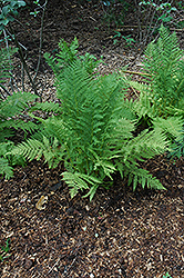 Lady Fern (Athyrium filix-femina) at Snavely's Garden Corner
