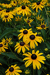 Indian Summer Coneflower (Rudbeckia hirta 'Indian Summer') at Snavely's Garden Corner