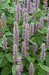 Blue Fortune Anise Hyssop (Agastache 'Blue Fortune') at Snavely's Garden Corner