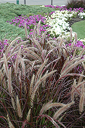 Purple Fountain Grass (Pennisetum setaceum 'Rubrum') at Snavely's Garden Corner