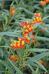 Red Butterfly Milkweed (Asclepias curassavica 'Red Butterfly') at Snavely's Garden Corner