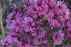 Woods Pink Aster (Aster 'Woods Pink') at Snavely's Garden Corner