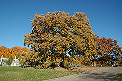 Bur Oak (Quercus macrocarpa) at Snavely's Garden Corner