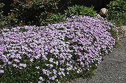 Emerald Blue Moss Phlox (Phlox subulata 'Emerald Blue') at Snavely's Garden Corner