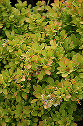 Sunsation Japanese Barberry (Berberis thunbergii 'Sunsation') at Snavely's Garden Corner