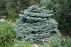 Montgomery Blue Spruce (Picea pungens 'Montgomery') at Snavely's Garden Corner