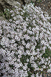 Creeping Baby's Breath (Gypsophila repens) at Snavely's Garden Corner