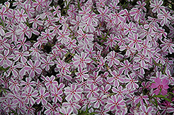 Candy Stripe Moss Phlox (Phlox subulata 'Candy Stripe') at Snavely's Garden Corner