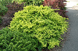 Golden Japanese Barberry (Berberis thunbergii 'Aurea') at Snavely's Garden Corner