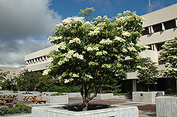 Ivory Silk Japanese Tree Lilac (Syringa reticulata 'Ivory Silk') at Snavely's Garden Corner